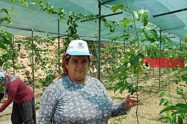2021/07/gurbetcinin-ilk-hasadini-yaptigi-passifloralarin-kilosu-75-lira-50111b99320b-1.jpg