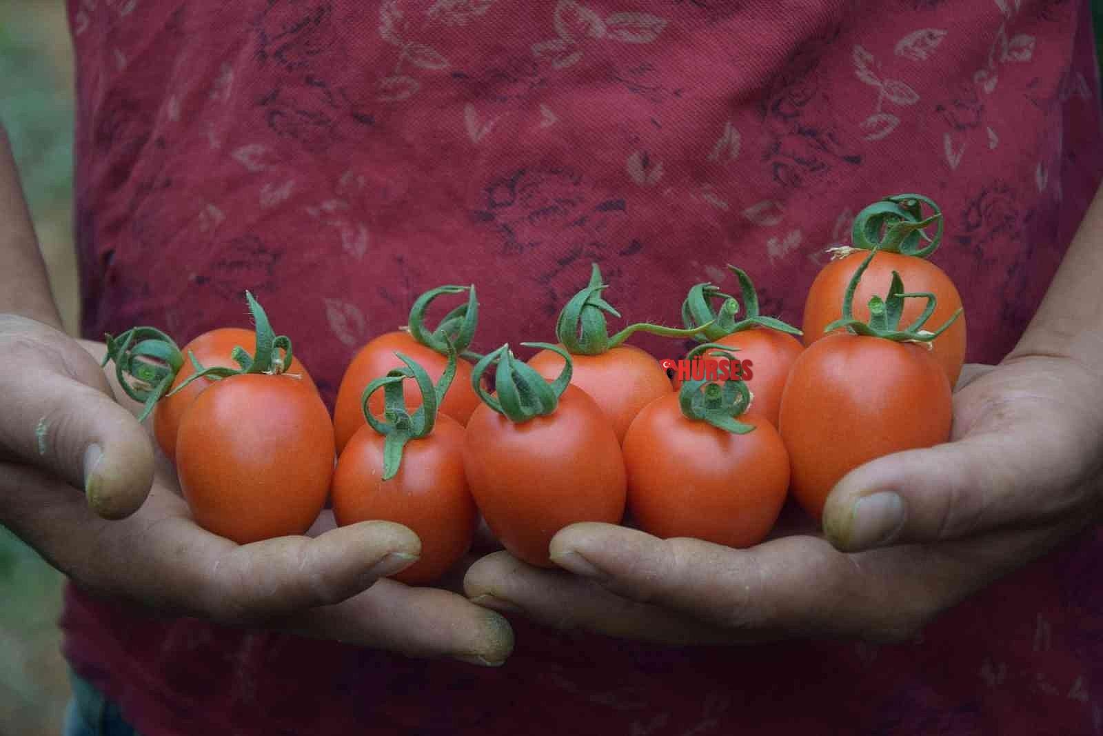 2021/10/ureticiden-13-tlye-cikan-kokteyl-domates-marketlerde-23-tlye-satiliyor-20211013AW44-1.jpg
