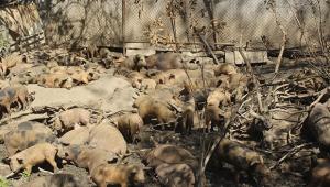 Dereye domuz leşleri atıldı iddiası