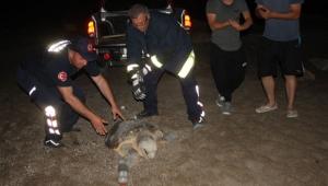 Caretta, köpeklerin saldırısına uğradı