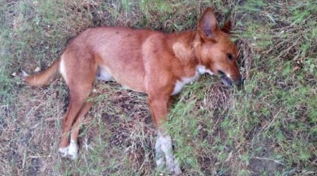 Köpek ölüsü bulundu
