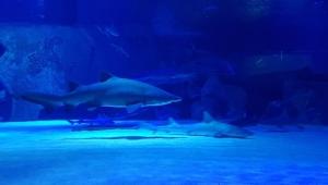 Köpekbalıklarını besliyorlar
