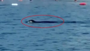 Akdeniz foku, Antalya'da turistlerle yüzdü