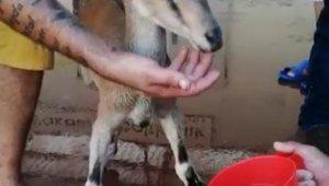 Balık mezadında yavru yaban keçisi sürprizi