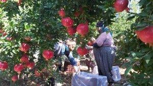 Antalya'da 'Hicaz narı'hasadı