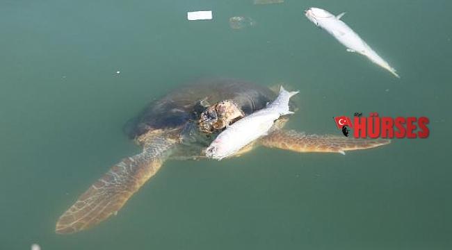 Caretta carettaların balık ziyafeti