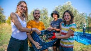 Yabancı gönüllü öğrenciler, zeytin hasadına katıldı