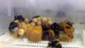 Tarım işçisi arılara, seralara girmeden PCR testi