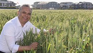 Muratpaşa'da buğdaylar başak verdi