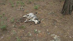 5 sokak köpeği zehirlenerek öldürüldü