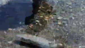 Kıyıya kadar gelen balon balıkları bu kez de Kemer'de görüntülendi