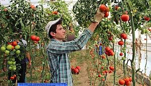 Zam şampiyonu domatesin üreticiye faydası yok