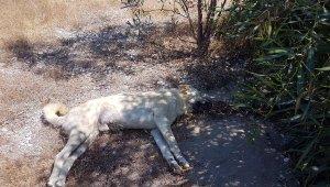 Demre'de 10 köpek zehirlenerek öldürüldü