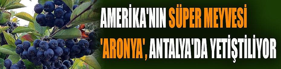Amerika'nın süper meyvesi 'aronya', Antalya'da yetiştiliyor