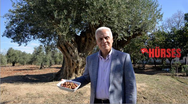 Anıt ağaçların zeytinleri satılıyor