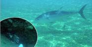 Konyaaltı'nda orkinos ve aslan balığı görüntülendi