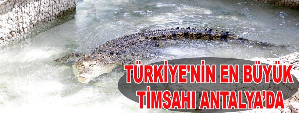 Türkiye'nin en büyük timsahı Antalya'da