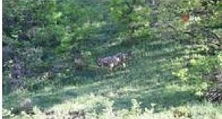 Karayolundan geçen kurt görüntülendi
