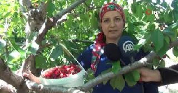 Kilosu 30 liraya satılan kirazda şarkılı türkülü hasat