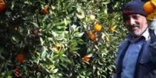 Finike'de 230 bin ton portakal rekoltesi bekleniyor