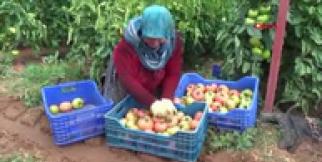 Kumlucalı firma, raf ömrü uzun pembe domates üretti